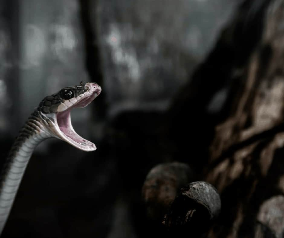 Does Evil Exist - The Devil is a Liar: An image of a snake with its mouth open to attack