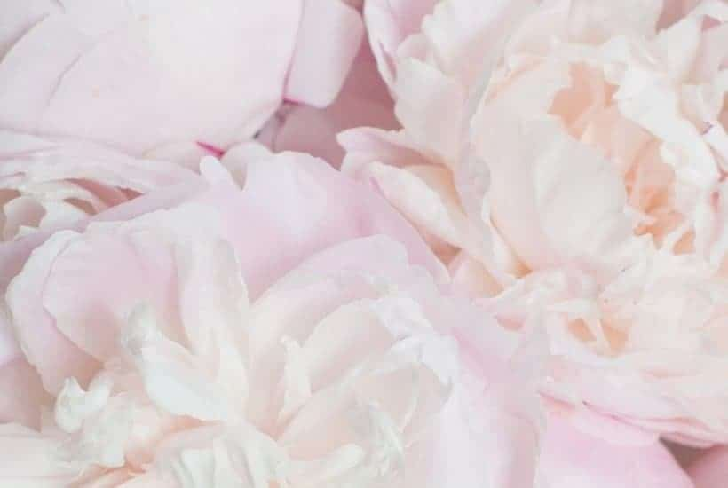 Holy and Blameless -An image of pink flowers