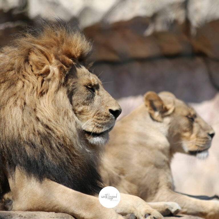 A male and female lion looking off to the right side for post called Trusting God Through Trials - Where is God